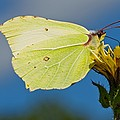 Brimstone Butterfly by Science Photo Library