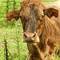Brindle Cow by Grace Dillon