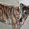 Brindle Greyhound Dog Usa by Sally Rockefeller