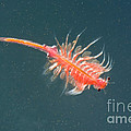 Brine Shrimp by Anthony Mercieca
