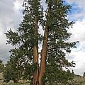 Brisslecone Pine Tree by Tom Janca