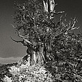 Bristlecone And Wildflowers In Black And White by Dave Welling