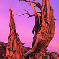 Bristlecone Pine At Sunset White Mountains Californa by Dave Welling