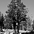 Bristlecone Pine by Eric Tressler