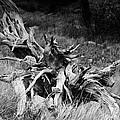 Bristlecone Pine Stump by Harold Rau