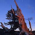 Bristlecone Pine by Susan Rovira