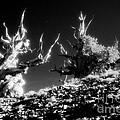 Bristlecone Twins In Infrared by Paul W Faust -  Impressions of Light