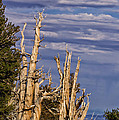 Bristlecone Warriors by Kathleen Bishop