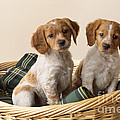 Brittany Dog Puppies In Basket by John Daniels