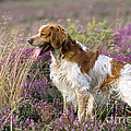 Brittany Dog, Standing In Heather, Side by John Daniels