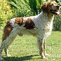 Brittany Dog, Standing Side by John Daniels