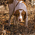 Brittany Spaniel Pixel's Pointed Woodcock by Timothy Flanigan