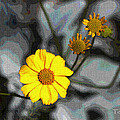 Brittle Bush Flowers In December by Tom Janca