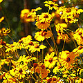 Brittle Bush In Bloom  by Tom Janca