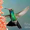 Broad-billed Hummingbird At Ocotillo by Anthony Mercieca