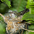 Broad-billed Hummingbird In Nest by Anthony Mercieca