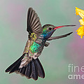 Broad-billed Hummingbird by Jim Zipp
