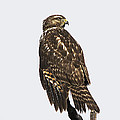 Broad Tailed Hawk by Kenneth Albin