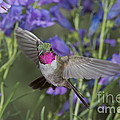 Broad-tailed Hummingbird by Anthony Mercieca