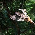 Broad-tailed Hummingbird by Dawn Key