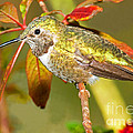 Broad Tailed Hummingbird by Millard H. Sharp