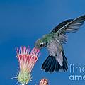 Broadbill Hummingbird Feeding At Flower by Anthony Mercieca