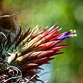 Bromeliad Strica by Keith Ducker