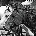 Bronc Buddies In Black And White by Lincoln Rogers