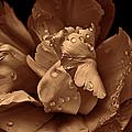 Bronze Ruffled Parrot Tulip Flower by Jennie Marie Schell