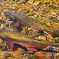 Brook Trout by Alice Cahill