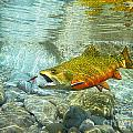 Brook Trout And Artificial Fly by Paul Buggia
