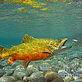 Brook Trout And Coachman Wet Fly by Paul Buggia