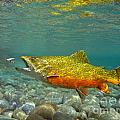 Brook Trout And Royal Coachman by Paul Buggia