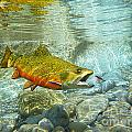 Brook Trout And Silver Doctor by Paul Buggia