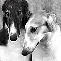 Brother And Sister Borzoi  by Maxine Bochnia
