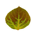 Brown And Green Aspen Leaf 4 by Agustin Goba