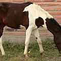 Brown And White Horse In Cotacachi by Robert Hamm