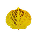 Brown And Yellow Aspen Leaf 3 by Agustin Goba