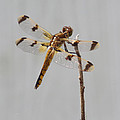 Brown And Yellow Dragonfly On A Twig by Teal Blackwell