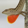 Brown Anole II by Zina Stromberg