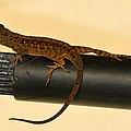 Brown Anole On Pipe by Richard Bryce and Family
