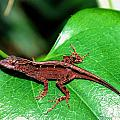 Brown Anole by Richard Lynch