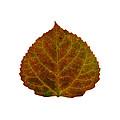 Brown Aspen Leaf 2 by Agustin Goba