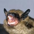 Brown Bat Eptesicus Fuscus by G Ronald Austing