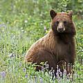 Canadian Bear by Armelle Troussard