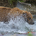 Brown Bear Attempting Get Salmon by Dan Friend