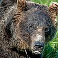 Brown Bear by Clint Pickarsky