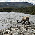 Brown Bear Cub Coming Ashore by Dan Friend