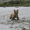 Brown Bear Cub Looking For His Mother Upstream by Dan Friend