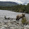 Brown Bear Cub Walking On Shore by Dan Friend